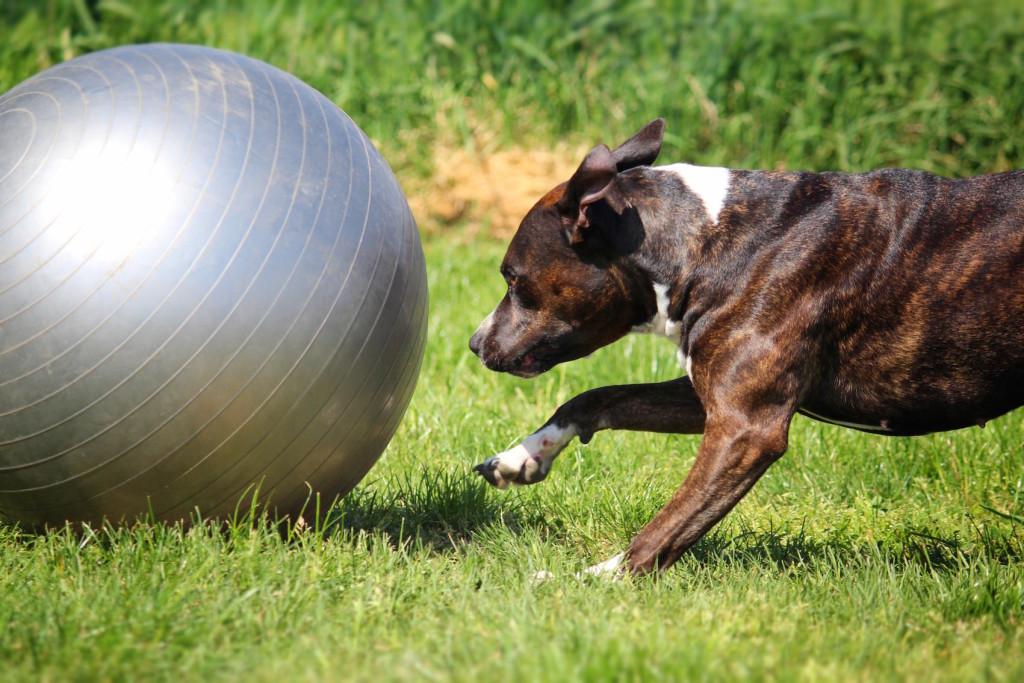 treibball-regolamento-sportivo