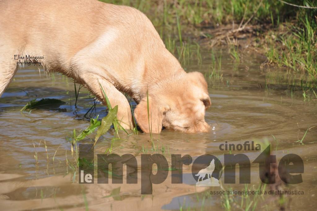 attitudine-cane-vocazione-labrador-retriever