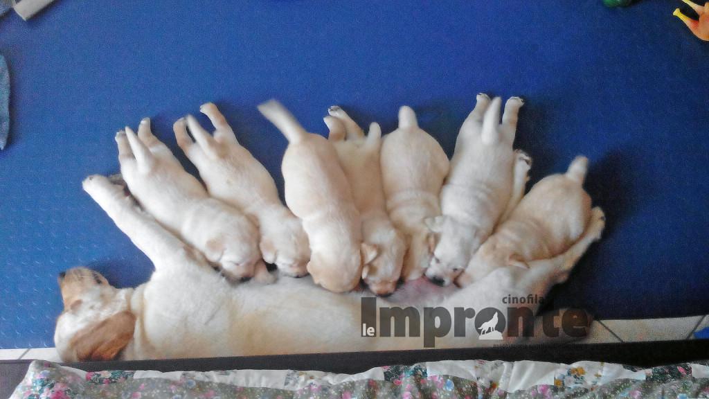 allattamento-cane-cuccioli
